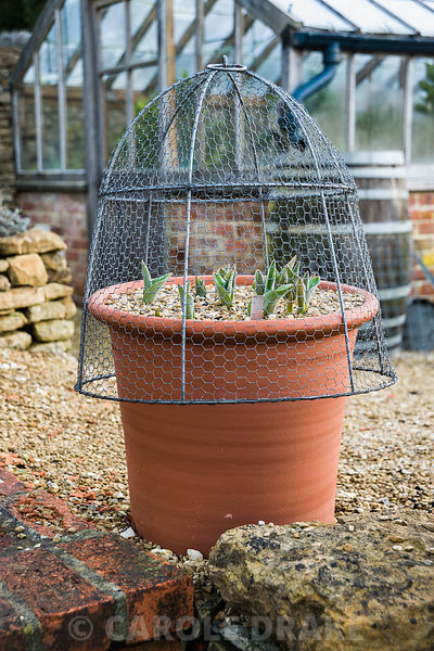 Pots of tulips mulched with gravel and covered with wire cloches to protect from mice attack. Old Rectory, Netherbury, Dorset...
