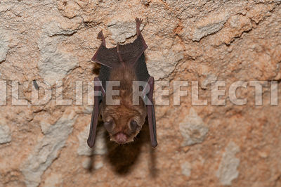 funnel_eared_bat_hanging_9