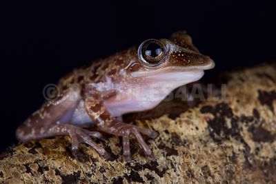 Yucatecan Casque-headed Treefrog (Triprion petasatus)