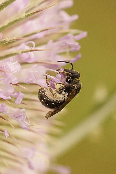 Osmia species on Dipsacus fullonum