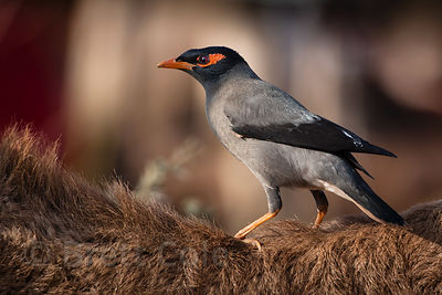 Bank mynah (Acridotheres ginginianus) on a camel's back, Pushkar, Rajastan, India