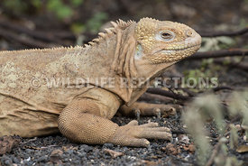 galapagos_land_iguana_profile_light-2