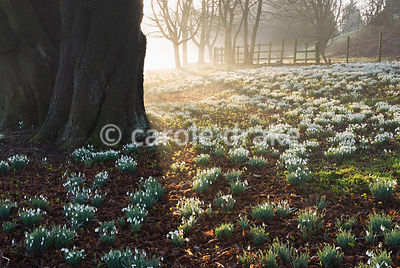 Aconites and snowdrops carpet the ground below limes, planted circa 1740, reputed to be the tallest in Berkshire. Welford Par...