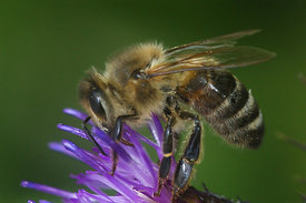 Apis mellifera on Centaurea jacea