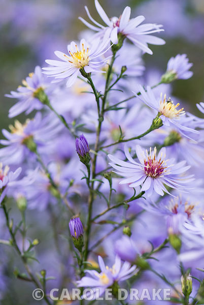 Aster ericoides 'Blue Star', AGM. The Sir Harold Hillier Gardens/Hampshire County Council, Romsey, Hants, UK
