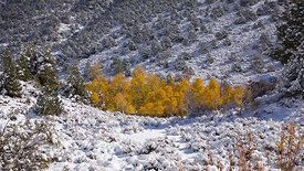 Medium Shot: Trees Of Gold Held In A Valley Of Snow