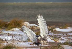 Snowy Owl With Its Prey
