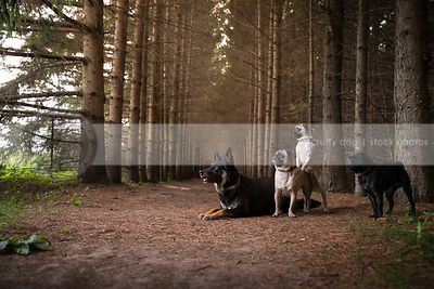 pack of four dogs posing together in forest of pine trees