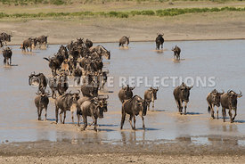 wildebeest_lake_crossing_sequence_02242015-50