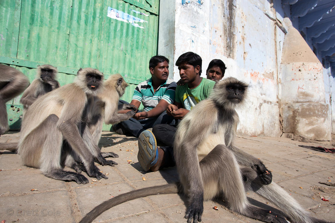 Men feed docile but nevertheless wild black langur monkeys in Pushkar, Rajasthan, India