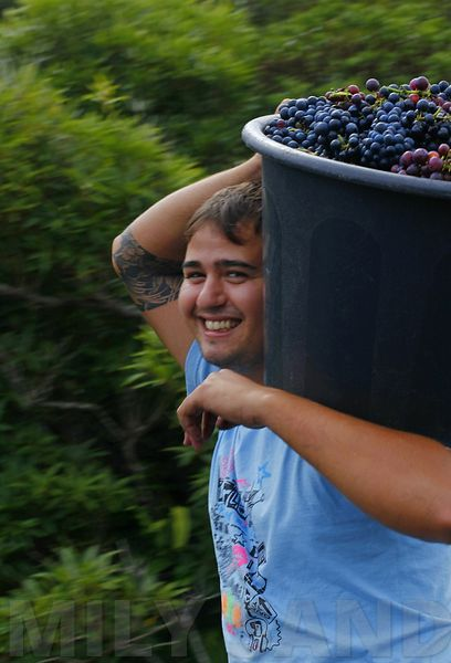 Young Man Carrying Grapes on Pico Island, Azores