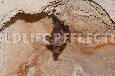 waterhouse_bat_hanging_35
