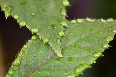 Raindrops cling to the perimeter of leaf (sp.), same plant observed in Maryland, United States, Las Nubes, Costa Rica