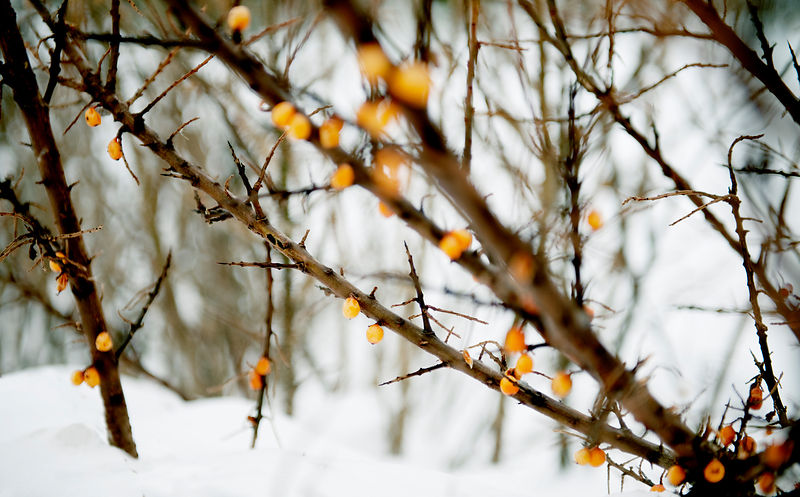 buckthorn in snow #2