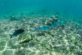 Bluefin Trevally Foraging along Coral Reef off Big Island of Hawaii