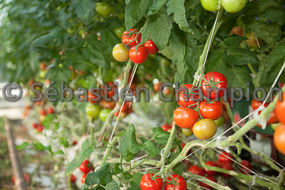 PRODUCTION DE TOMATES GRAPPE EN SERRE