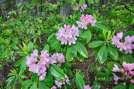 Rhododendron in coniferous forest (lat. rhododendron) - North America, USA, Oregon, Lane, Oakridge, Salt Creek (Cascade Range...
