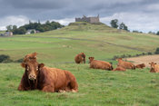 Herd of Limousin cattle sat down in pasture, with Hume Castle in the background. Scotland, UK.