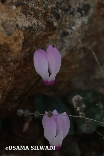 The Wildflowers of Palestine -Cyclamen