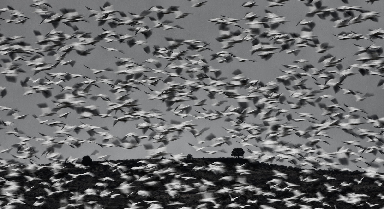 Springtime snow geese in Harney County, Oregon.