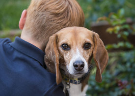 Beagle Looking Over the Shoulder of a Young Boy