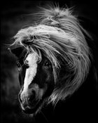 Three twigs in my mouth, Wild Horse of Iceland 2015 © Laurent Baheux