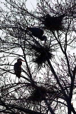 Silhouette of several Great Blue Heron (Ardea herodias) nests in a tree at dusk, Lake Whetstone, Montgomery Village, Maryland