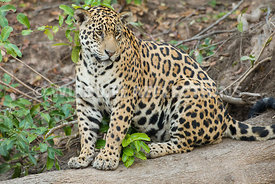 jaguar_sitting_log-4-Edit