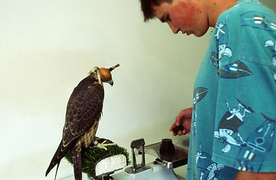 A technician weighs a Peregrine Falcon