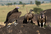 Lappet-faced vulture (Torgos tracheliotos), white-backed vulture (Gyps africanus) and Rüppell's vulture (Gyps rueppellii), Ki...