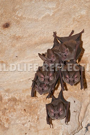 waterhouse_bat_hanging_4