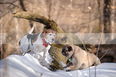 beagle and pug playing together  in winter forest