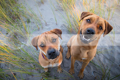 two curious tan dogs tilting heads sitting in sand with grasses