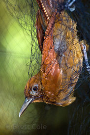 (sp.) bird caught in a drift net as part of a York University bird banding project, Las Nubes, Costa Rica