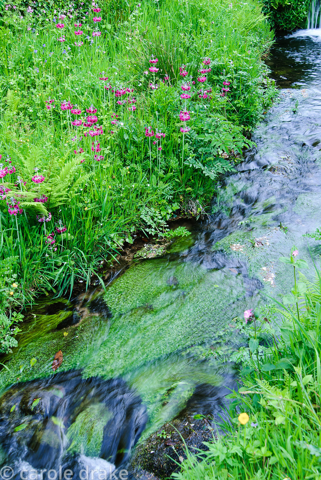 The Addicombe Brook edged with lush moisture loving plants including magenta Primula pulverulenta, ferns, bluebells and red c...
