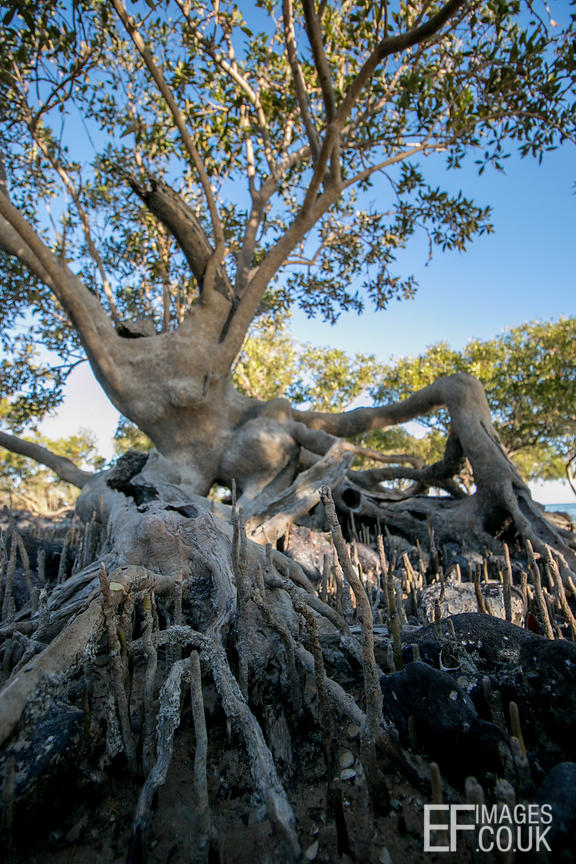 Black Mangrove Tree At Roebuck Bay, Broome, Western Australia