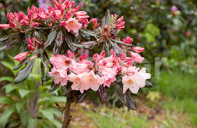 Rhododendron 'Vanessa Pastel', rose