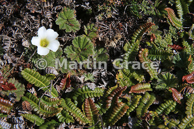 Flower of Scurvygrass (Oxalis enneaphylla) surrounded by the rounded leaves of Pigvine (Gunnera magellanica) and Small Fern (...