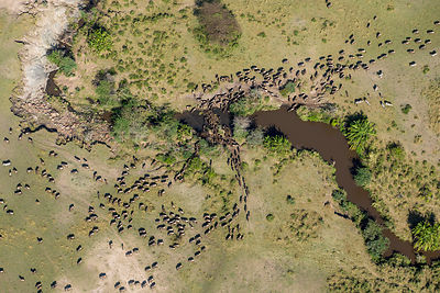 Aerial view of Wildebeest (Connochaetes taurinus) herd migrating. Masai-Mara game reserve, Kenya.