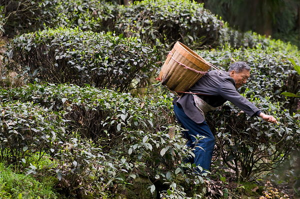 Tea-picking Emeishan