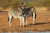 Burchell's zebras playing (Equus burchellii), Hluhluwe-Imfolozi Game Reserve, South Africa