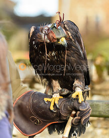 Golden Eagle. The Belvoir Hunt meet at Waltham House 22/12