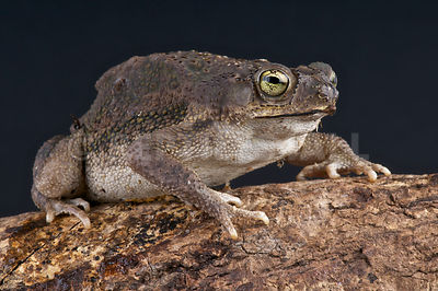 Small beaked toad  (Rhinella granulosa major)