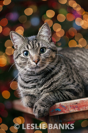 Cat in front of the Christmas Tree