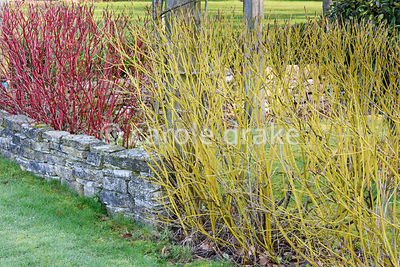 A cornus hedge surrounds the formal garden comprising red Cornus alba 'Sibirica' and yellow green Cornus sericea 'Flaviramea'...