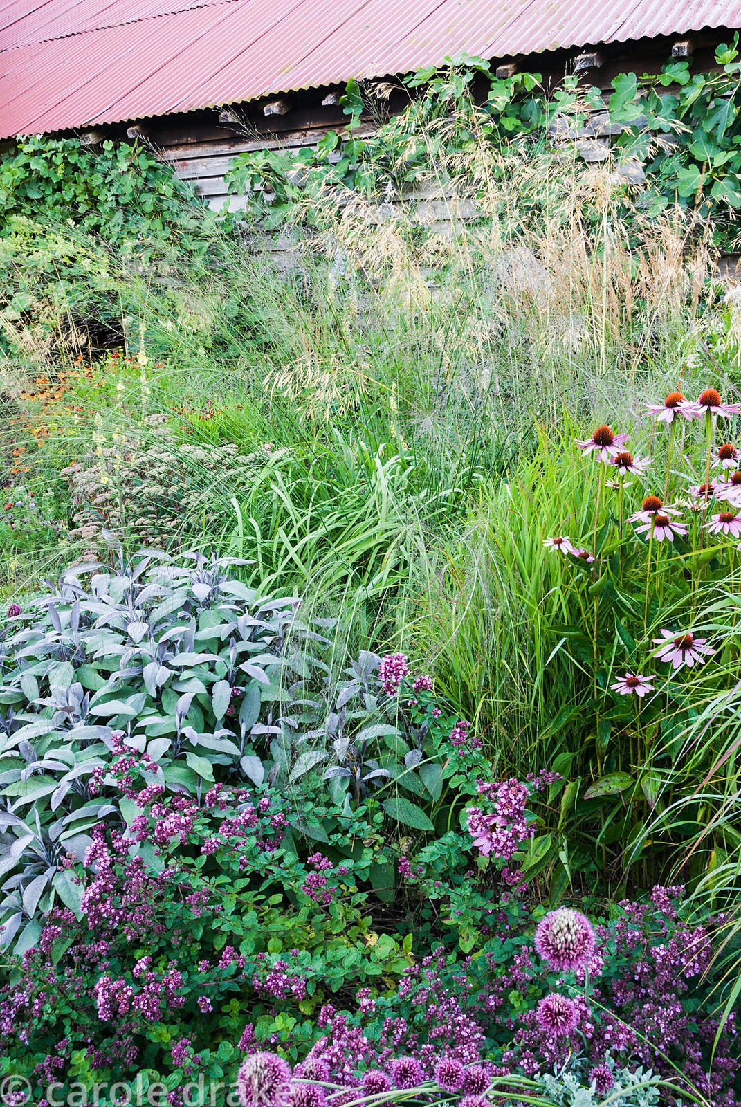 Border in front of tin-roofed barn includes Echinacea purpurea, clumps of Calamgrostis brachytricha, Stipa gigantea and Molin...
