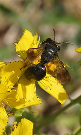 Andrena pillipes