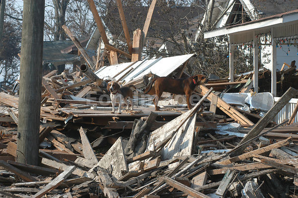 Dogs stand in debris outside homes in Biloxi, MS following Katrina