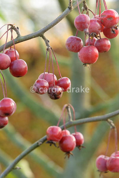 Crab apple fruits. The Courts Garden, Holt, nr Bradford-on-Avon, Wiltshire, UK