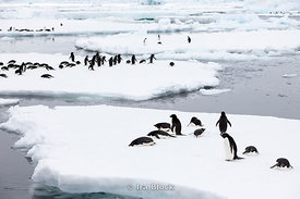 A large grouping of Adelie Penguin found on Glacier around the Antarctic Peninsula.